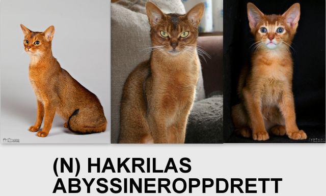 hakrilas_abyssineroppdrett_banner4