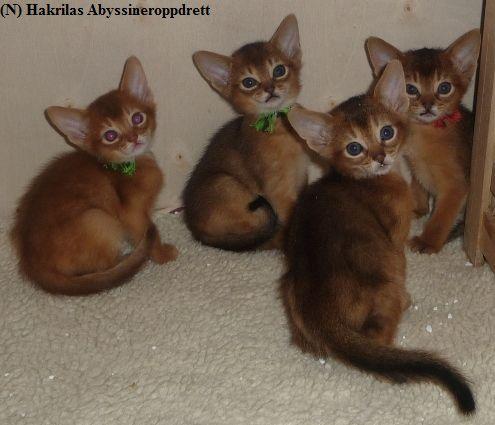 (N) Hakrilas Elvis, Emil, Estilo og Enzo i kattungebingen :) Her er kattungene 6 uker gamle :)
