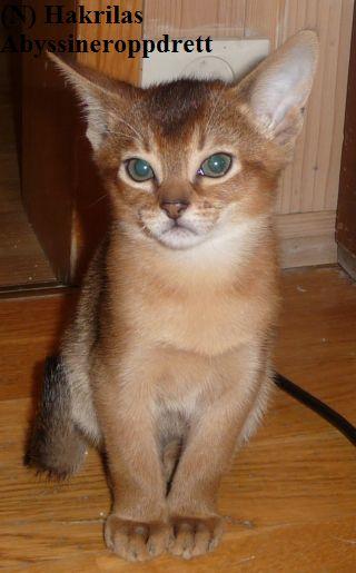"""Demitriz var den største av alle kattungene i D-kullet, og han var nok en liten """"aflahann"""" da kattungene var små. Demtriz bor i dag hos en familie på Sunnmøre, og han har utviklet seg til å bli en kjempeflott hannkatt med et kjempeherlig og supert gemytt"""