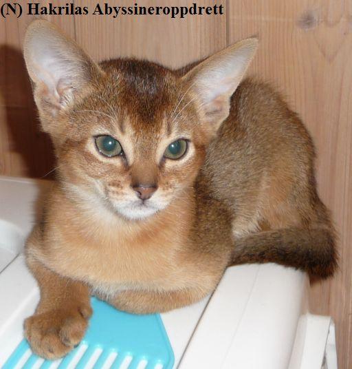 (N) Hakrilas Decenta bor hos en familie på Nord-Møre, og hun bor sammen med en annen katt. I følge familien til Decenta er hun altetende. Hun elsker bananer, mais, epler, gulrot, paprika m.m. Decenta har et kjempeherlig og supert gemytt :)
